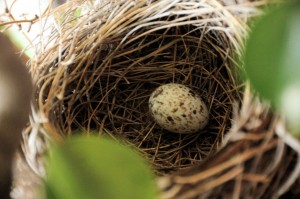 The first cardinal egg appeared in the nest on May 11, 2012.