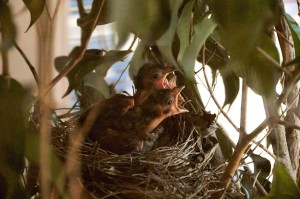 Baby Cardinals see their mother land in the tree.