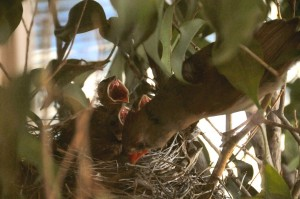 The mother bird takes a closer look at the baby cardinals.
