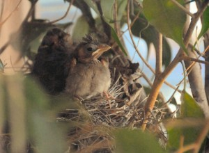 The first baby cardinal jumps to the edge of the nest.